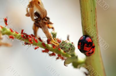 Scene of ladybird and aphids