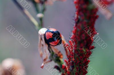Ladybug staying besides aphids