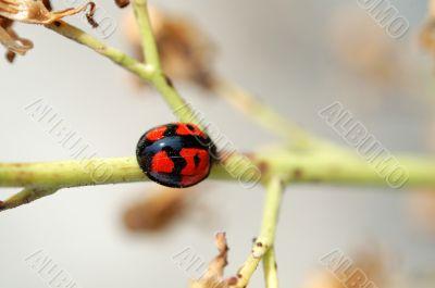 Ladybug climbing along a stem of compositae