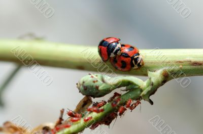Ladybirds mating besides aphids