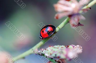 Ladybird walking on stem of compositae plant