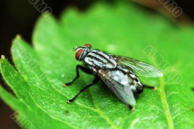Red eye fly