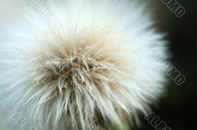 Fluff of taraxacum like seed of plant