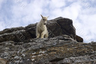 Young Goat A