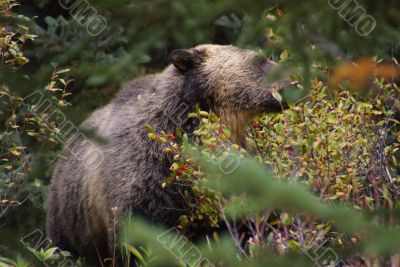 Grizzly Bear A