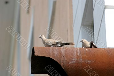 Pigeons on Pipe