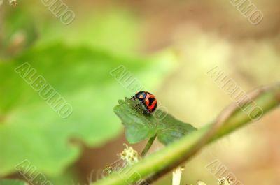 A resting ladybird