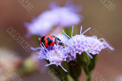 Ladybird eating petal of purple flower