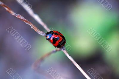 Climbing ladybird along a plant stem