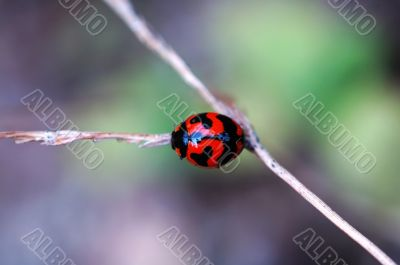 Ladybird on a stalk of weed