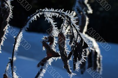 Dry branch and leaves under hoar-frost