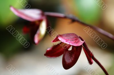 Deep red lady slipper (orchid)
