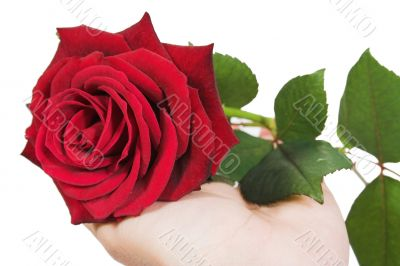 give a rose