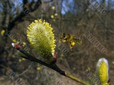 willow flowers and flying bee