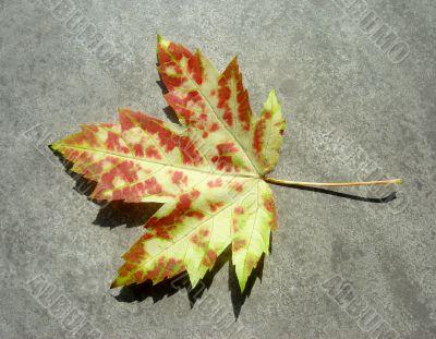 Wild Autumn Maple Leaf