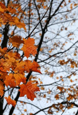 Orange Autumn Maple Leaves