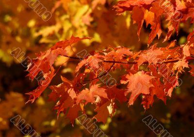 Orange Autumn Sugar Maple