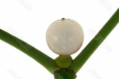 Macro photo of a  mistletoe berry