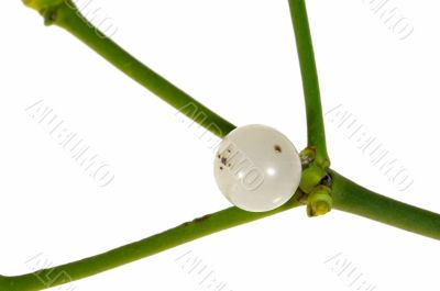 Close-up of a mistletoe berry