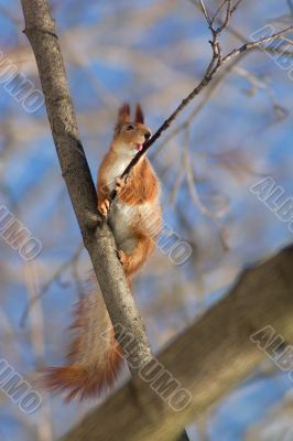 Squirrel licking the twig