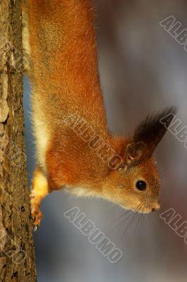 Squirrel on the tree stem