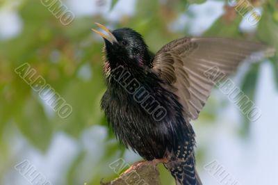 Warbling starling bird