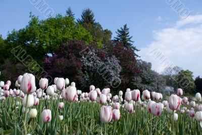 white-pink tulip
