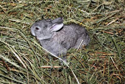 babby rabbit