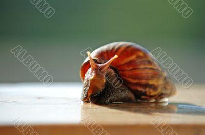 A brown color snail