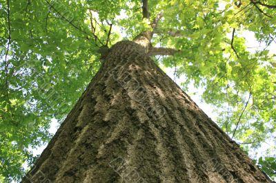 mammoth oak tree