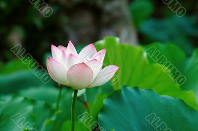 Single lotus flower among the pads (lotus leave)