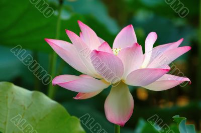 A bloomed lotus flower