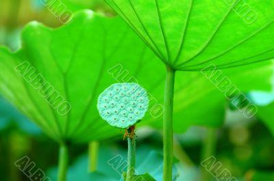 Lotus seed head