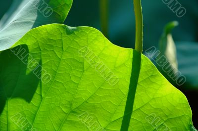Lotus pad under sun light