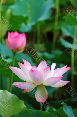 Blooming lotus flowers