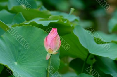 Lotus flower and giant leave pad