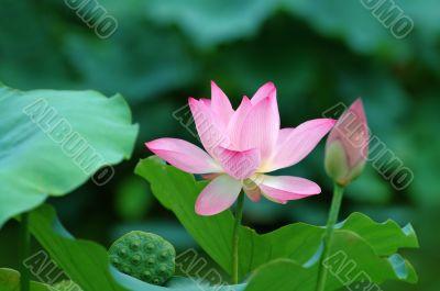 Lotus flowers and seed head