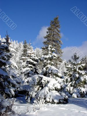 Blue sky and snow woods