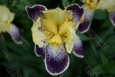 iris flower in bloom