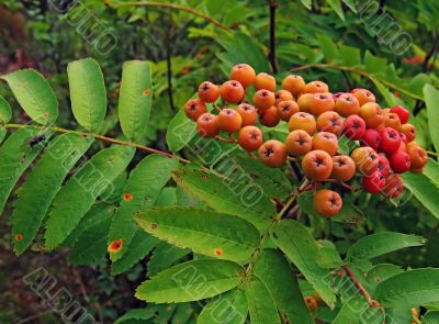 Berries of a mountain ash and the fly