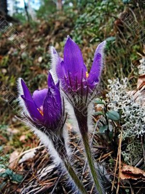 The first spring flower - `son-trava`