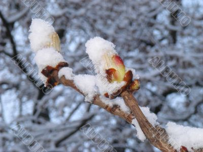 blooming chestnut buds covered with snow