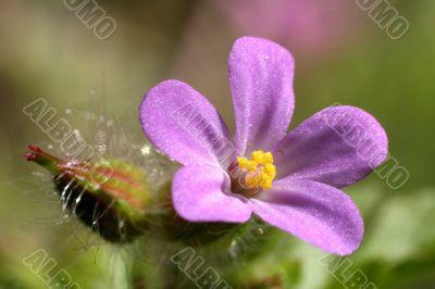 pink wild geranium