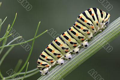 Papilio machaon`s caterpillar