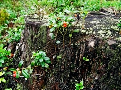 Cowberry on a tree