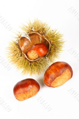 Two chestnuts and open spiny curl