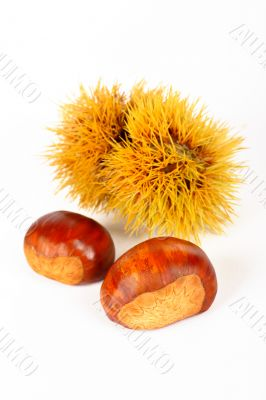 Two chestnuts and spiny curl