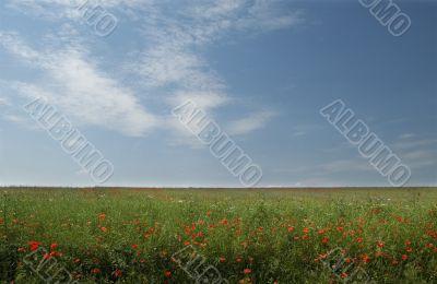summer field in blossom