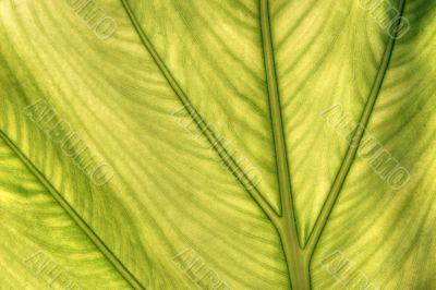 caladium leaf transparency