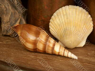 seashell still life
